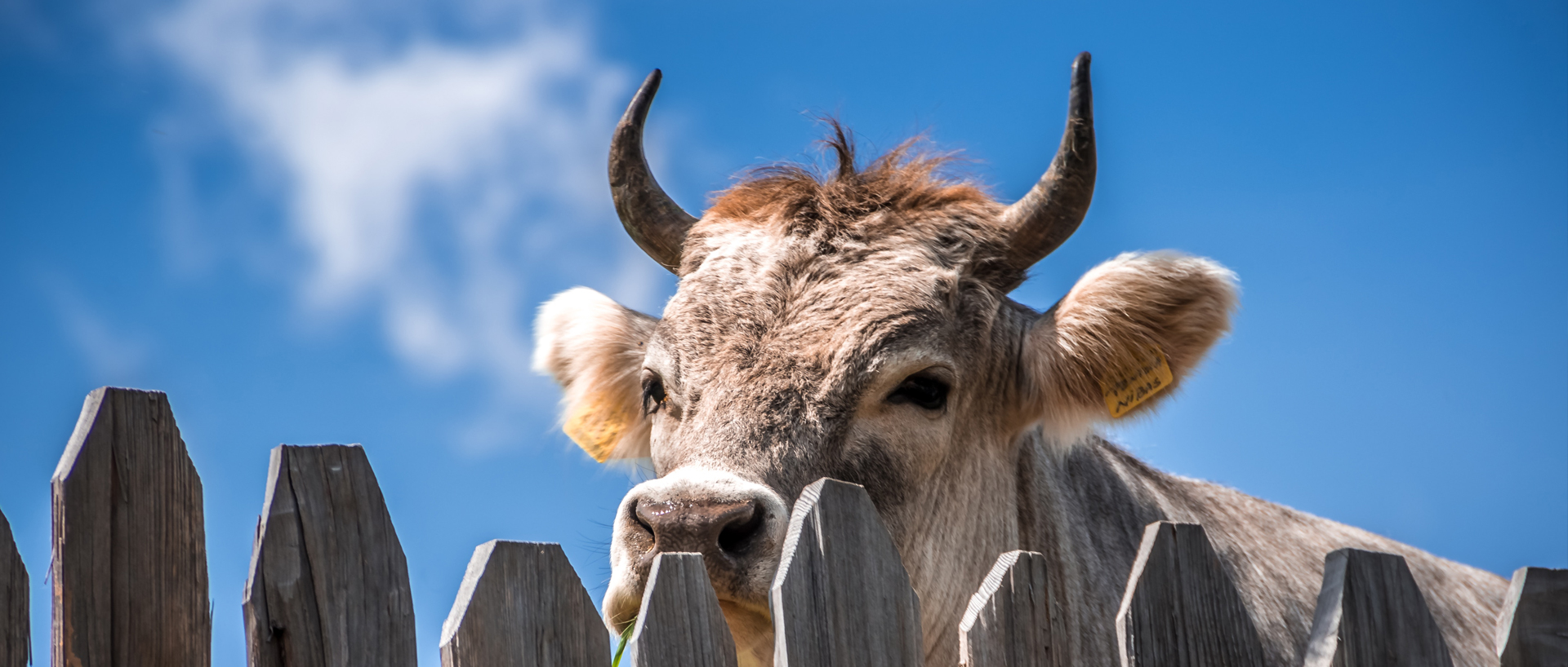 bull looking over a fence