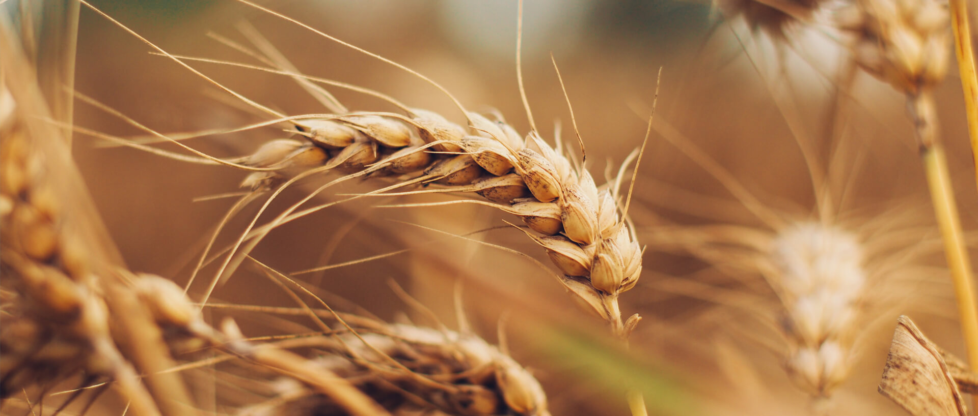 Close-up of a stalk of hay